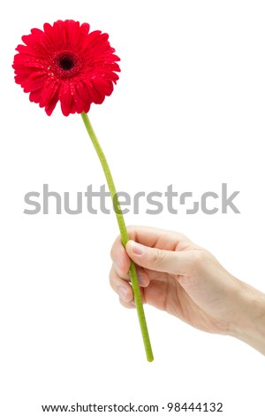 Hand holding red gerber daisy isolated on white - stock photo