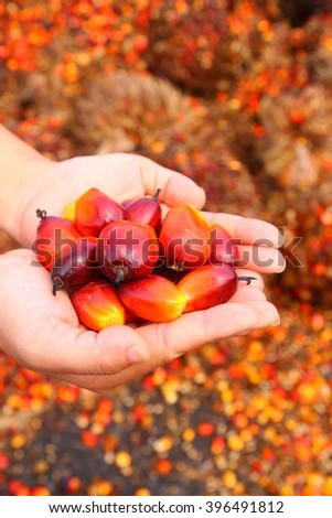 Hand holding red ripe oil palm fruitlets - stock photo