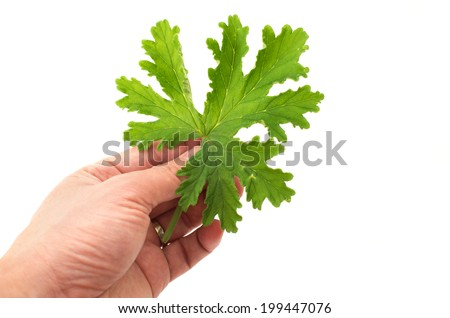 Hand holding SCENTED GERANIUMS leaf close up mosquitoes repellent