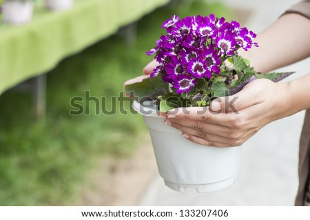 Hand holding up spring daisy flower ( bellis perennis ) in a flower pot - stock photo