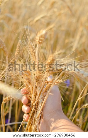 Hand holding wheat in the field on summer day outdoors background copy space, closeup picture - stock photo