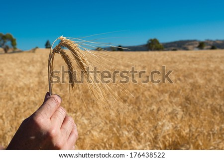 Hand Holding Wheat in Wheat Field