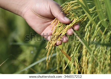Hand Holding young rice in paddy field - stock photo