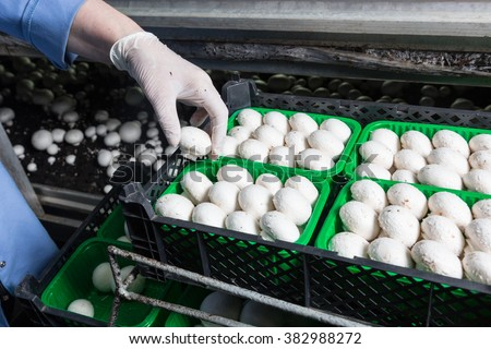 Hand in a rubber glove  picking up fresh harvest of champignons into containers on a mushroom growing plant. Food production  - stock photo