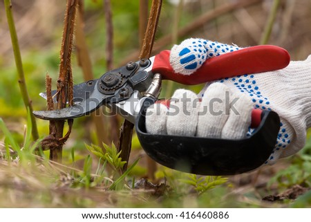 hand in gloves pruning raspberry