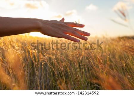 Hand in wheat field - stock photo