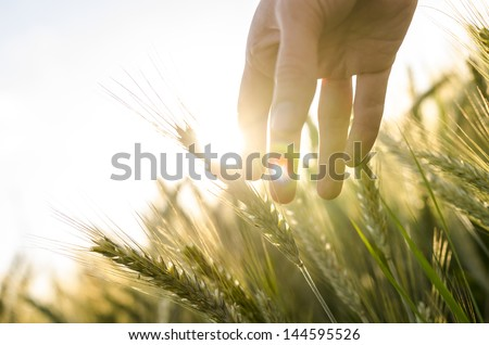 Hand of a farmer touching ripening wheat ears in early summer. - stock photo