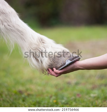 hand of girl holds hoof of white horse  - stock photo
