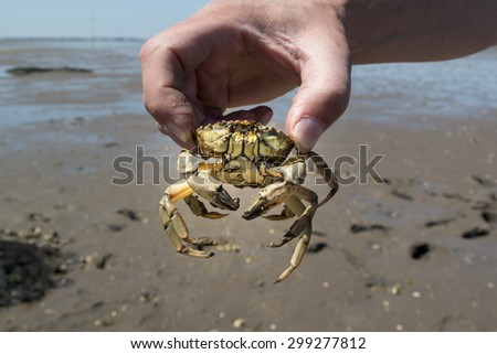 Hand of man holding common shore crab in hand at ebb tide on the Waddensea wetlands, Netherlands - stock photo