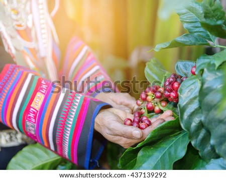 Hand of woman show  coffee beans from branch of coffee plant ,select focus - stock photo
