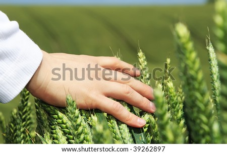 Hand over rye field. - stock photo