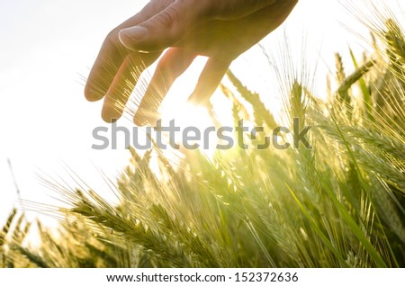 Hand over wheat field in early summer evening. - stock photo