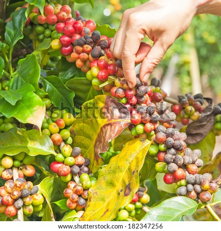 Hand pick up coffee seed from coffee  tree in organic farm - stock photo