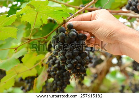 Hand picking grapes on the vine - hand focused - stock photo