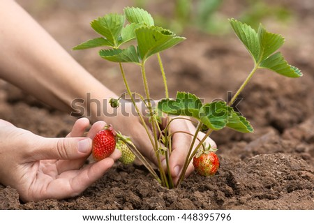hand picking of strawberries in the garden - stock photo