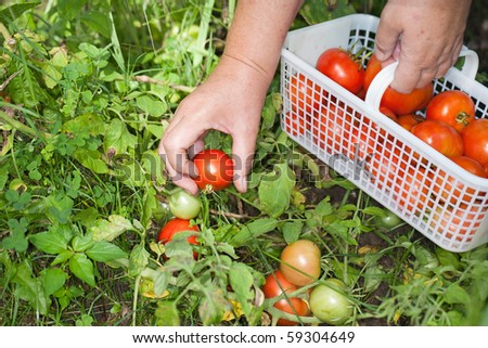 Hand picking ripe field tomatoes from the garden.