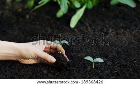 Hand planting a young cucumber plant in the garden  - stock photo