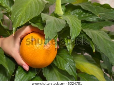 Hand plucking orange, on background of green leaves - stock photo