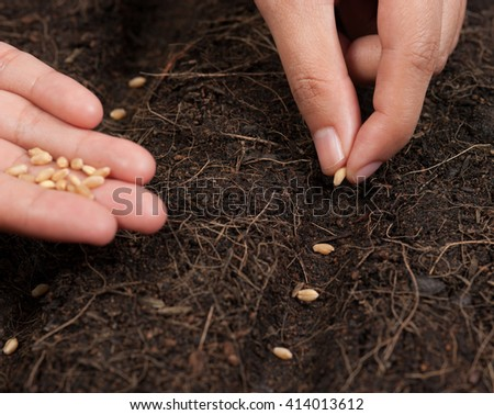 Hand seeding for planting  into soil,Wheatgrass Seeds - stock photo