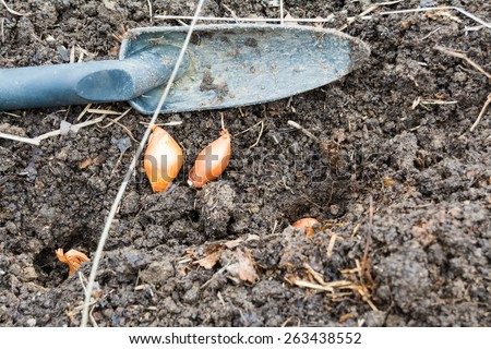 Hand shovel with onion sets laying on the dirt and a few are planted and ready to be covered with soil.
