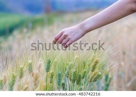 Hand touching top of wheat