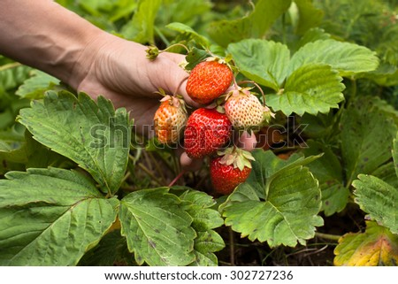 hand with bunch of strawberries - stock photo