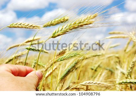 Hand with spike of wheat - stock photo