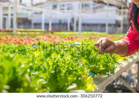 hand women pick vegetable on Hydroponic farm without chemical - stock photo