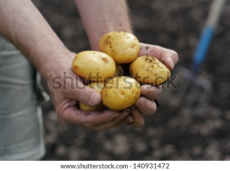 Handful of fresh harvested potatoes - stock photo