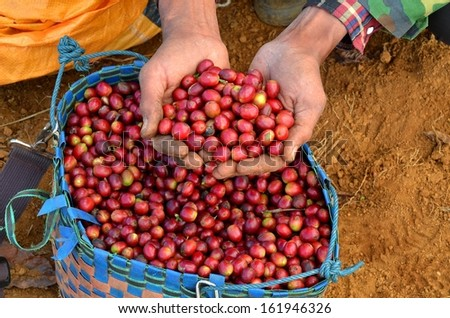 Handful of fresh red coffee berries from a basket right from plants - stock photo