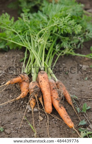 Handpicked carrots bunch lying on ground