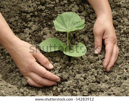 hands earthing young pumpkin seedling - stock photo