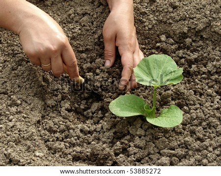hands hoeing young pumpkin seedling