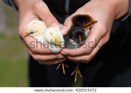 Hands hold four newborn chicks