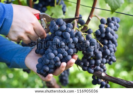 hands holding and cutting grape from the plant - stock photo