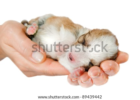 Hands holding brown puppy, 10 days age, isolated on white background.