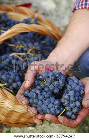 Hands holding bunch of grapes