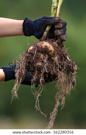 hands holding digging bush potato - stock photo