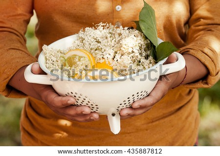 Hands holding Elderflower with lemons ready for syrup in vintage  colander - stock photo