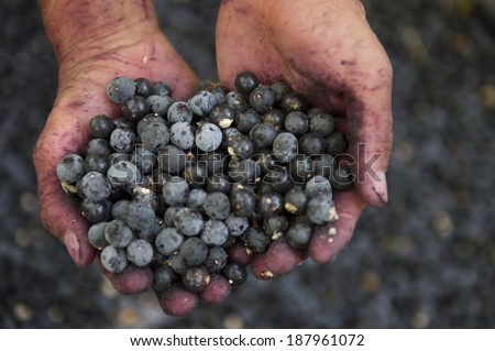 Hands holding fresh Brazilian, acai berries stained purple with the juice - stock photo