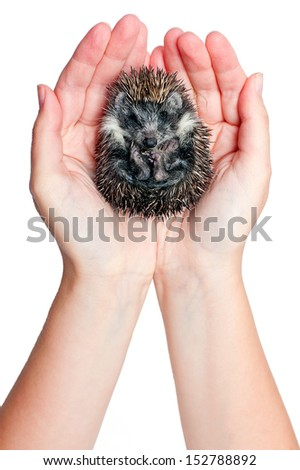 hands holding hedgehog curled up into a ball. Isolated object - stock photo