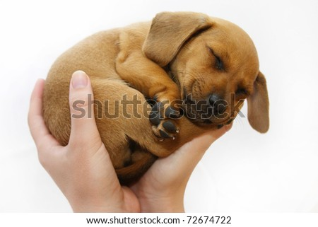 Hands holding puppy - stock photo
