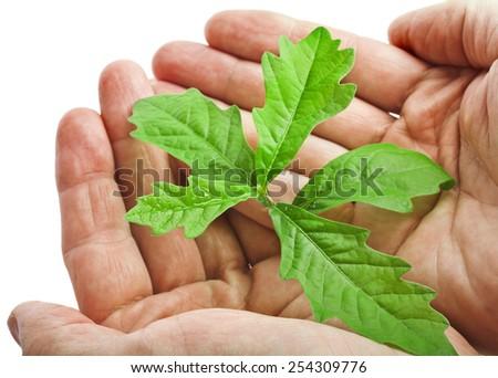 Hands holding sapling tree oak isolated on white background - stock photo