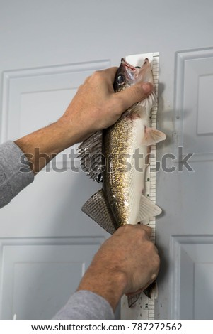 Hands holding sauger caught ice fishing on Lake of the Woods in Minnesota