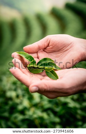 Hands holding tea leaves in tea plantation in the northern Thailand  at sunrise