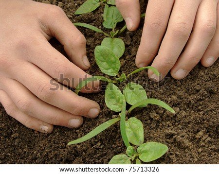 hands loosen young spinach seedlings - stock photo
