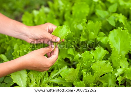 hands picking lettuce close-up - stock photo