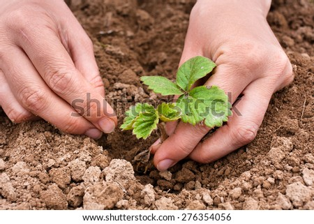 hands planting strawberry seedling - stock photo