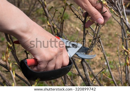hands pruning black current with secateurs - stock photo