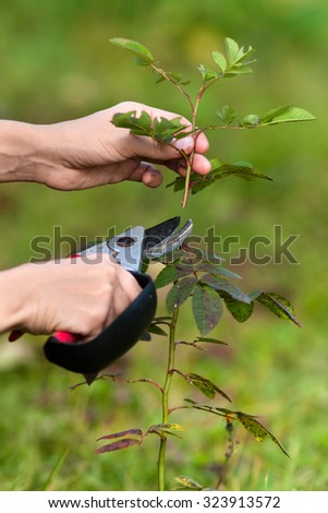 hands pruning rose with secateurs - stock photo